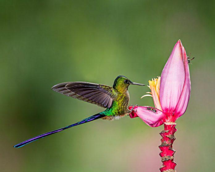 Conservan colibríes en Costa Sur