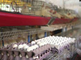 Bioplástico desde cascarón de huevo en CUAltos
